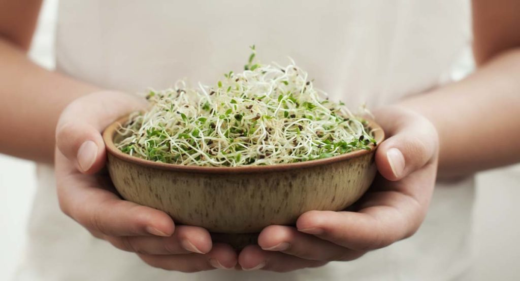 Hands holds bowl with homegrown organic sprouts, micro greens.